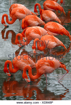 Greater flamingo, American flamingo, Caribbean Flamingo (Phoenicopterus ruber ruber), standing in water feeding - Stock Photo