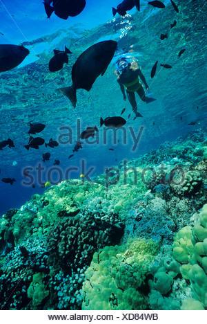 Hawaii, Big Island, Kealakekua Bay, Snorkeler Explores Reef - Stock Photo