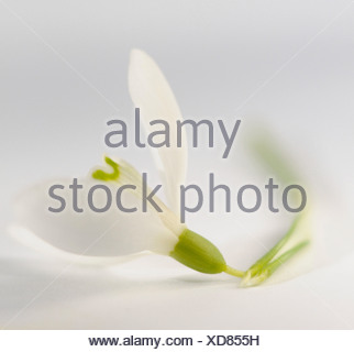 Galanthus nivalis Snowdrop Single white flower against a white background. - Stock Photo
