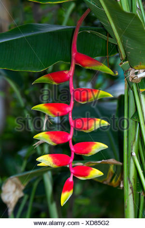 Hanging Lobster-claw (Heliconia rostrata), Samut Sakhon, Thailand - Stock Photo