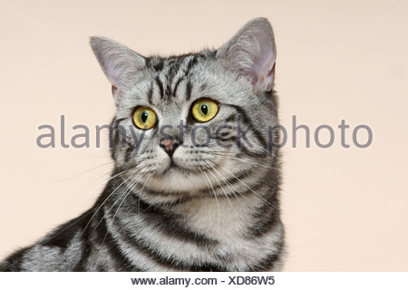 portrait of a male british shorthair silver tabby cat