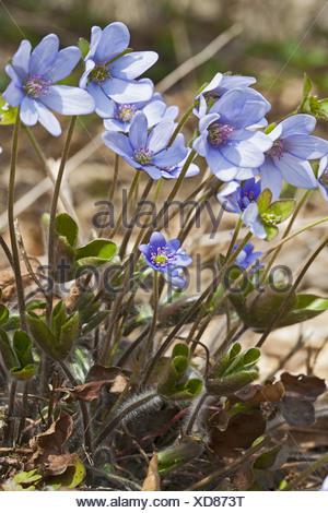 Liverwort, Anemone hepatica, Hepatica nobilis - Stock Photo