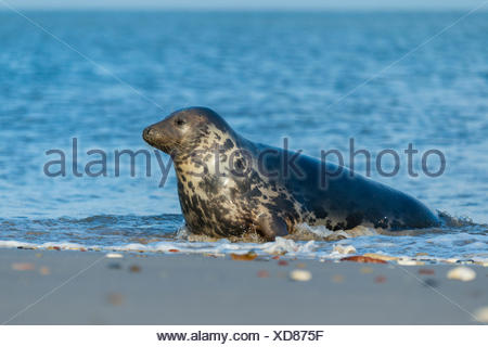grey seal, halichoerus grypus, helgoland, north sea, germany - Stock Photo