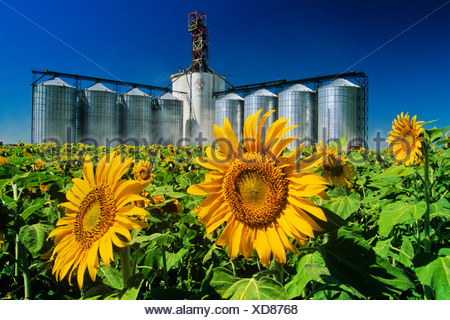 Sunflower (Helianthus annuus) field and inland grain terminal near Winnipeg, Manitoba, Canada - Stock Photo