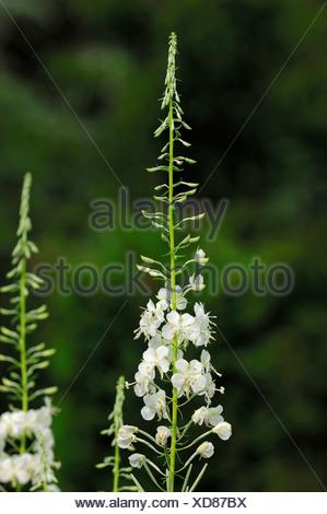 White Rosebay Willowherb (Epilobium angustifolium var album), North Rhine-Westphalia - Stock Photo