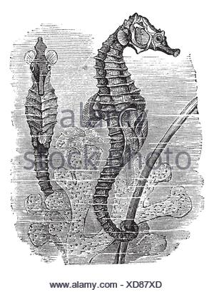 Hippocampus Syngnathus hippocampus or short-snouted seahorse, vintage engraved illustration  Seahorse  Trousset encyclopedia 1886 - 1891