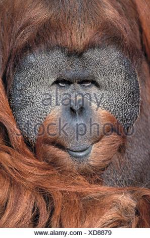 SUMATRAN ORANGUTAN male (Pongo abelii). (previously Pongo pygmaeus abelii) - Stock Photo