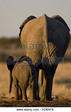 Elephant mother and calf from behind, Etosha National Park, Namibia. - Stock Photo