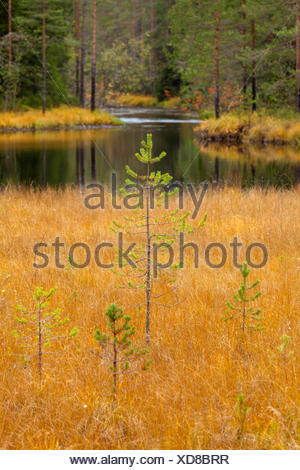 young spruce in a swamp - Stock Photo