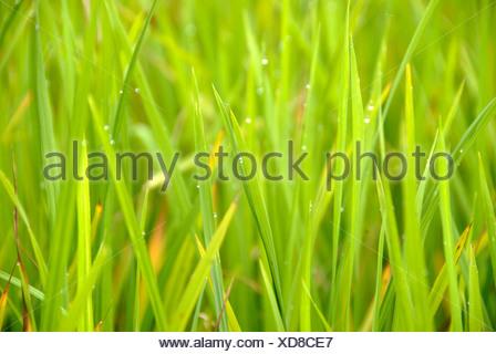 Rice, rice blades, stalks, Yuanyang, in Xinji, Yunnan Province, People's Republic of China, Asia - Stock Photo