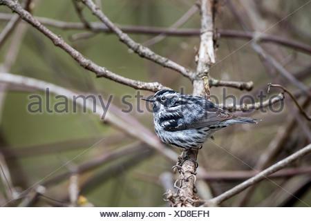 Male Black-and-white Warbler (Mniotilta varia), Prince Edward Point National Wildlife Area, Ontario, Canada - Stock Photo