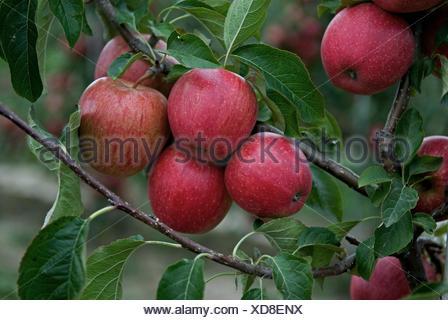 apple tree (Malus domestica 'Evelina', Malus domestica Evelina), cultivar Evelina, apples on a tree - Stock Photo