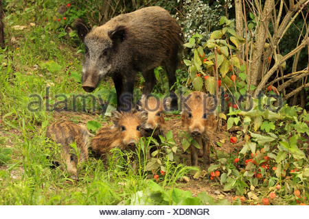 wild boar, pig, wild boar (Sus scrofa), wild sow with runts at forest edge, Germany, Baden-Wuerttemberg - Stock Photo