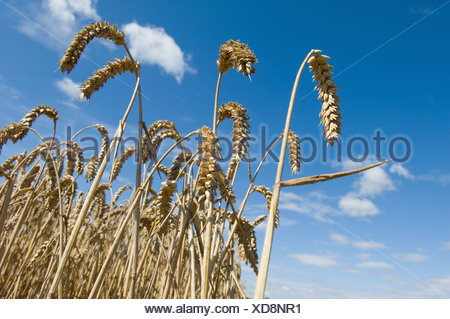 Close up of wheat stalks in field - Stock Photo