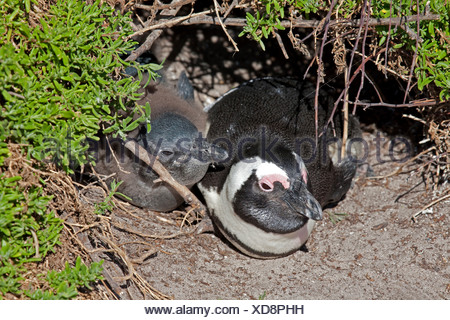 jackass penguin, African penguin, black-footed penguin (Spheniscus demersus), with chick in a nest hole, South Africa, Western Cape, Stony Point, Betty's Bay - Stock Photo