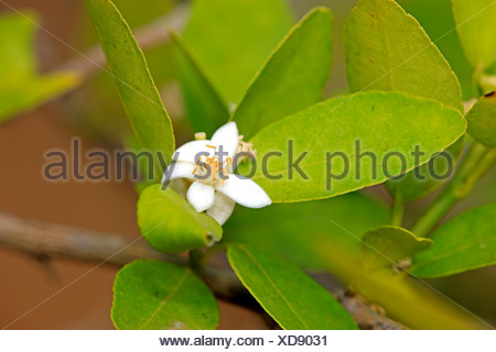 Lime (Citrus latifolia), flowering, Nosy Be, Madagascar, Africa - Stock Photo
