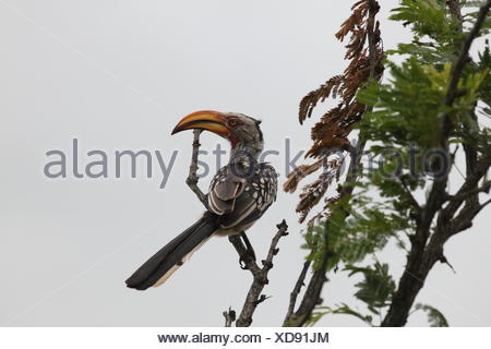 southern yellow-billed hornbill - Stock Photo