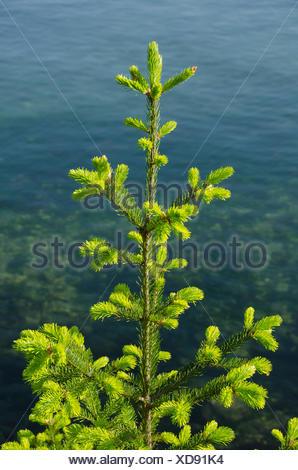 Young Douglas fir,  Pseudotsuga menziesii, on seashore, British Columbia, Canada - Stock Photo