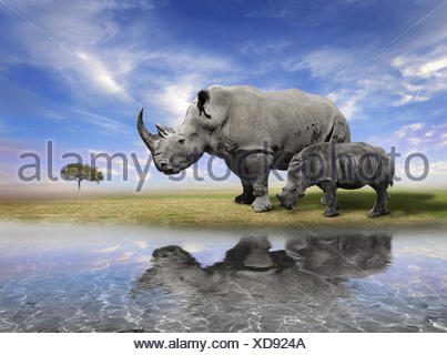 Mother Rhino With Calf - Stock Photo