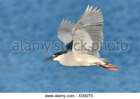 Black-crowned Night Heron (Nycticorax nycticorax) - Venice Rookery Florida - Stock Photo
