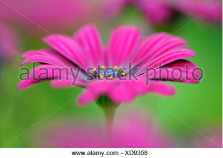 African Daisy, Lavender African Daisy, Norlindh freeway daisy (Osteospermum ecklonis), close-up of a blossom - Stock Photo