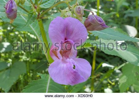 Drüsiges Springkraut (Impatiens glandulifera), Einzelblüte, Bayern, Deutschland, Europa Stock Photo