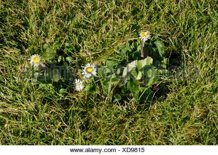 Flowering daisy Bellis perennis in a garden lawn - Stock Photo