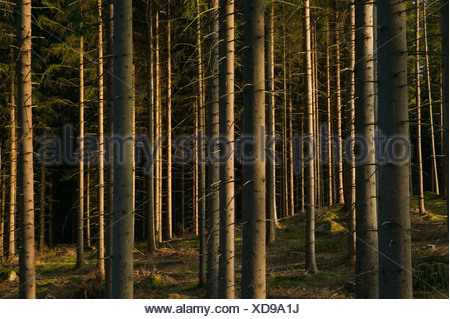 Spruceforest Sweden. - Stock Photo