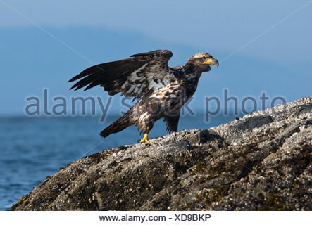 Immature Bald eagle (Haliaeetus leucocephalus) perched on rock, Victoria, Vancouver Island, British Columbia, Canada - Stock Photo