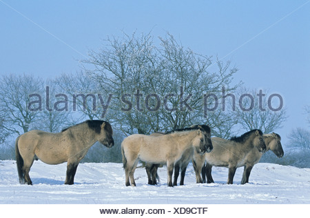 Konik horse (Equus przewalskii f. caballus), stallion, mares and foals standing in snow in winter, Germany, Schleswig-Holstein - Stock Photo