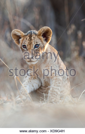 African Lion cubs, approx 3 months old, South Luangwa National Park, Zambia - Stock Photo