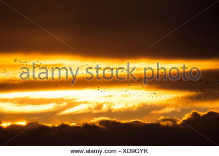 Flock of Pink-footed Geese (Anser brachyrhynchus) flying at sunset, East Chevington, Druridge Bay, Northumberland, England - Stock Photo
