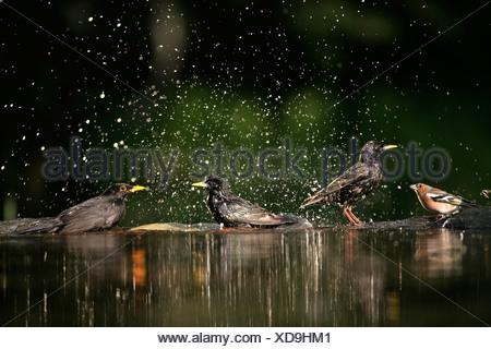 Starling (Sturnus vulgaris) Blackbird (Turdus merula) and Chaffinch (Fringilla coelebs) bathing at pool. Hungary - Stock Photo