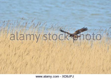 Marsh Harrier in flight over reedbed - Texel Netherlands - Stock Photo