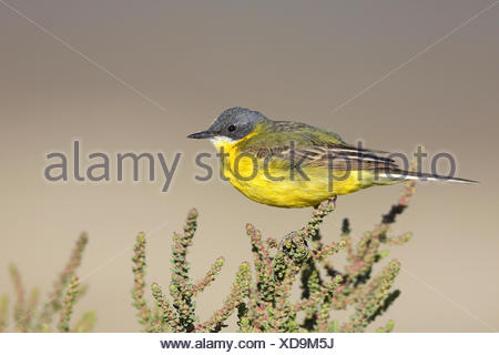 Ashy-headed Wagtail, Yellow wagtail (Motacilla flava cinereocapilla), male sitting on a succulent shrub, France, Camargue - Stock Photo
