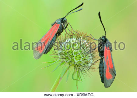 Transparent Burnets (Zygaena purpuralis), perched on the seed head of a Pincushion Flower (Scabiosa columbaria), Valle Verzasca - Stock Photo