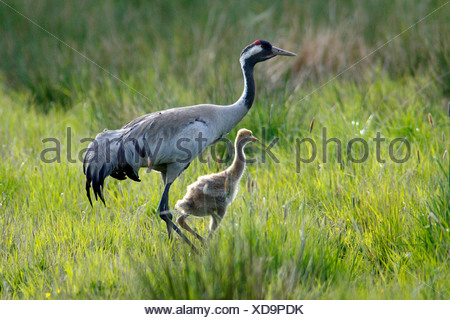 common crane (Grus grus), adult with chick on a meadow, Sweden - Stock Photo