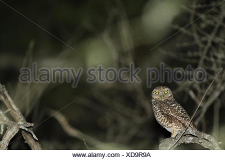 A burrowing owl, Athene cunicularia, perching on the branch of a tree. - Stock Photo