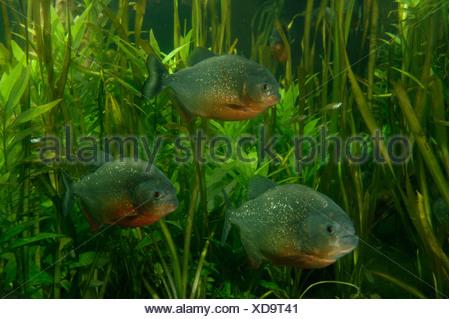 Red Bellied Piranha Pygocentrus nattereri Found in the Amazon - Stock Photo