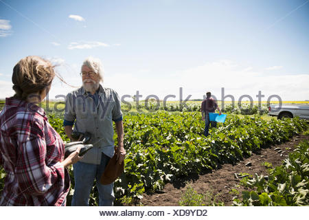Farmers talking, harvesting zucchini in crop on sunny farm - Stock Photo