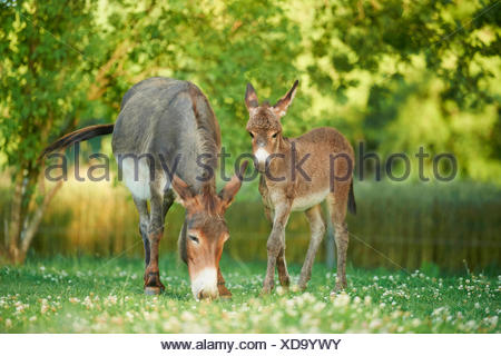 Domestic donkey (Equus asinus asinus), donkey mare with foal in a meadow, Germany - Stock Photo