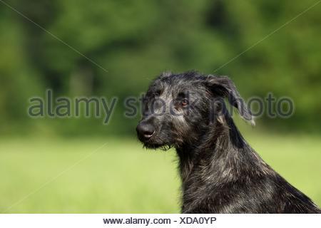Deerhound puppy - Stock Photo