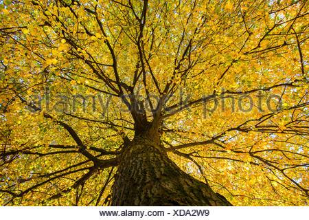 Sommerlinde, Sommer-Linde, Grossblaettrige Linde (Tilia platyphyllos), Blick von unten in die herbstliche Baumkrone, Deutschland - Stock Photo