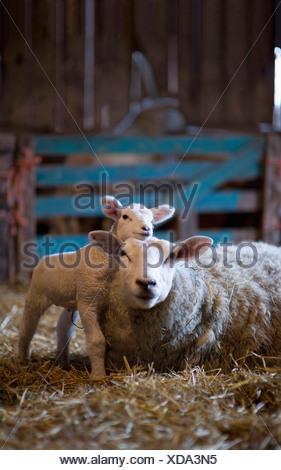 Germany, Sheep and lamb lying on hay in barn - Stock Photo