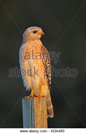 red-shouldered hawk (Buteo lineatus), sits on a fencepost, USA, Florida - Stock Photo