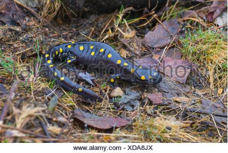 Spotted Salamander, Ambystoma maculatum, West Nipissing, north eastern Otario, Canada