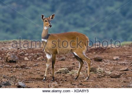 female bushbuck - Stock Photo