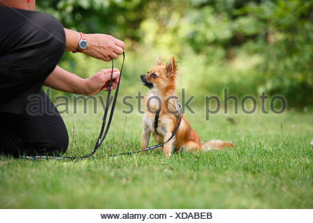 Chihuahua (Canis lupus f. familiaris), leashed individual sitting in a meadow in front of a man, Germany - Stock Photo
