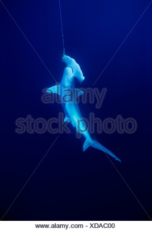 Live Scalloped hammerhead shark {Sphryna lewini} caught on long-line fishing gear, Cocos Islands - Stock Photo