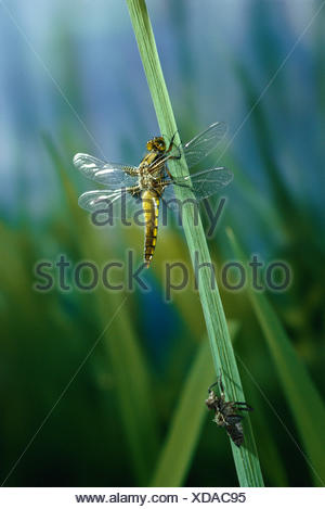 Broad bodied chaser dragonfly (Libellula depressa) recently emerged from larval case, UK - Stock Photo